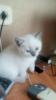 Котенок мальчик шотландский прямоухий